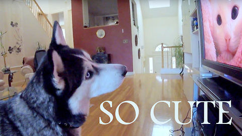 Siberian Husky completely fascinated by wildlife videos