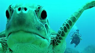 Curious sea turtle nibbles and investigates scuba diver's camera