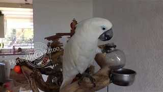 Content Cockatoo Enjoys Cool cup of Lemonade - Video