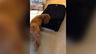 A dog is fascinated by a suitcase. But what happens next will explain why! - Video