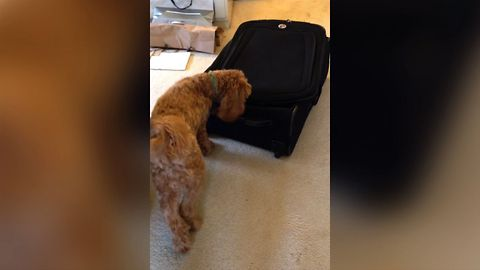Sneaky Cat Hiding In Suitcase Keeps Dog Entertained Playing Hide And Seek For Hours