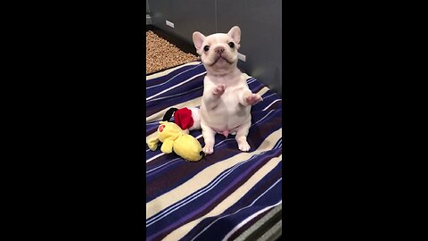 Newborn Frenchie puppy learns how to sit