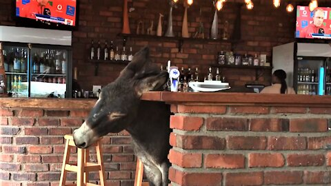 Donkey walks into bar, enjoys head scratch against the counter