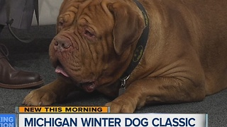 Michigan Winter Dog Classic taking place January 19-22 at the Suburban Collection Showplace - Video