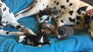 Foster kittens completely invade Dalmatian's bed - Video