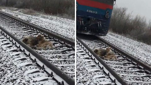 This Dog Was Too Injured To Move From Train Binary