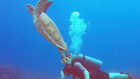 Beautiful sea turtle swims past divers on way to surface