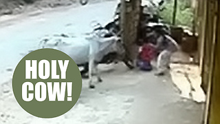 Girl saved her toddler brother from being gored by a COW - Video