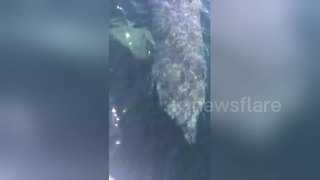 Enormous basking shark hits boat off US coast - Video