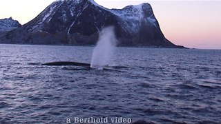 Whale Watcher Captures Stunning Show From Fin Whales - Video