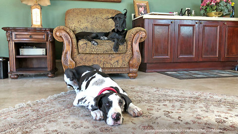 Great Dane puppy learns how to lie down & stay