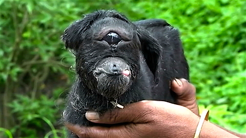 Check Out India's Cyclops Baby Goat