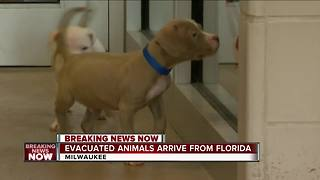 Evacuated animals arrive from Florida to Wisconsin - Video