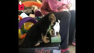 Puppy learns to fetch tissues during service dog training