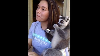 Koko the lemur eating popcorn - Video
