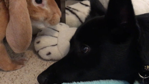 Puppy And A Bunny Rabbit Adorably Relax Together
