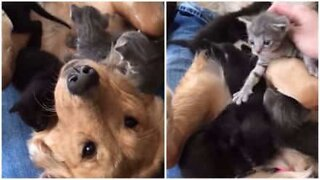 Golden retriever gets 'attacked' by adorable kittens