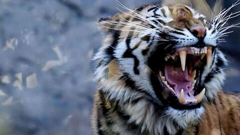 How to Survive a Tiger Attack