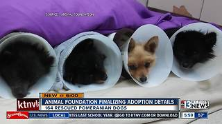 Pomeranians continue with grooming and medical care before adoption - Video