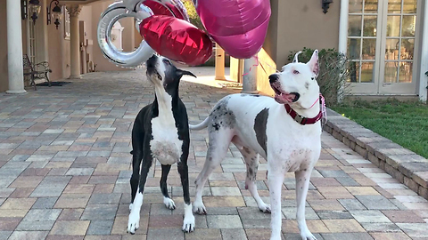 Senior Great Danes get playful with balloons