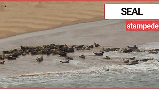 This shocking footage shows a stampede of seal