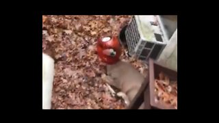 Frightened Long Island Doe With Container Stuck on Her Head Is Freed