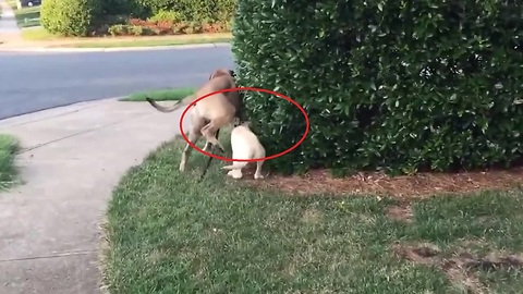 "Dog walks puppy, accidentally gives him ""surprise bath"""