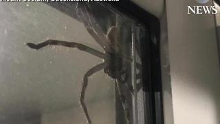 Massive spider 'Aragog' goes viral - Video