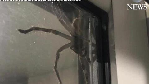 Massive spider 'Aragog' goes viral