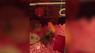 """Funny Hamsters Fight Over Carrot"""