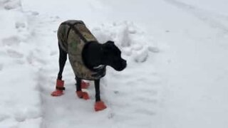 Dog hilariously walks on snow with shoes on