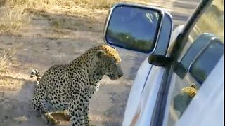 Terrifying moment leopard launches attack on tourist car – Biting and puncturing the tyre - Video