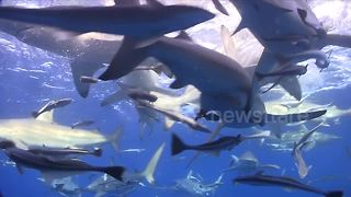 Diver swims through 'feeding frenzy of sharks' - Video