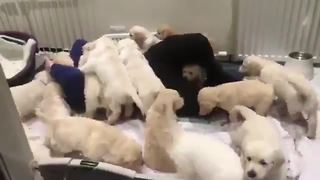 Man Swarmed By Dozens Of Puppies Is The Envy Of Us All - Video