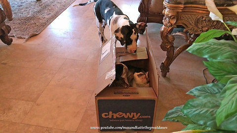 Cat hiding in box scares Great Dane puppy