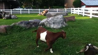 Goats Get Confused By Invisible Duck - Video