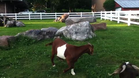 Goats Get Confused By Invisible Duck