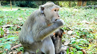 Mom Monkey Eat Cucumber Act Like It Delicious - Video