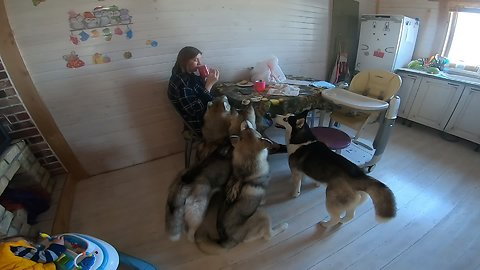 Man wakes up to ear-piercing morning husky concert