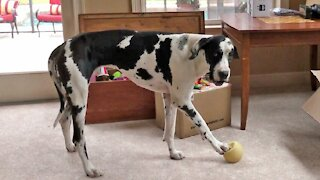 Great Dane howls every time he makes his favorite toy squeak