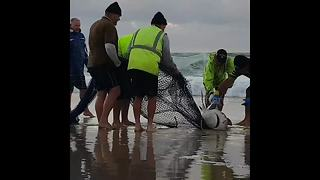 Aussie fishermen rescue shark stuck in fishing net on Queensland beach - Video