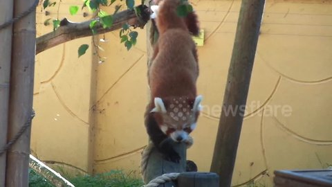 Zookeepers thrilled after rare baby red panda born