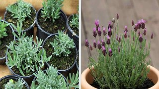 How to grow lavender at home and why it's important