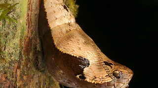 Owl Butterfly Chrysalis Perfectly Mimics Snake's Head - Video