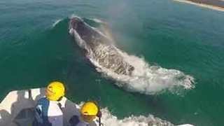 Sea World Team Removes Netting From Humpback Whale off Queensland Coast - Video