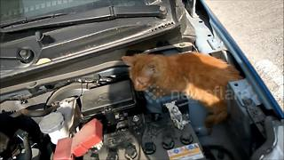 Man finds lost cat under his car bonnet - Video