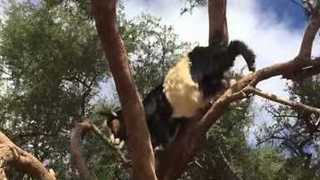 Goat Makes Tree Descent Look Easy