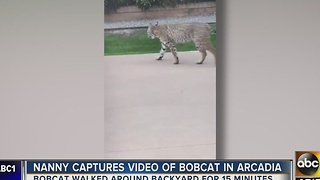 Meow! Bobcat found in Arcadia community! - Video