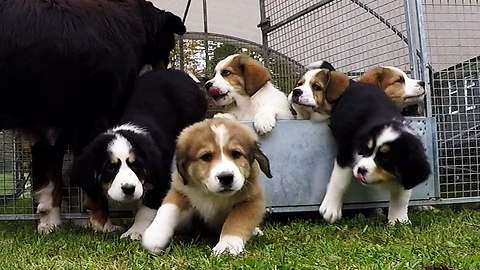 Cascade of cuteness as mother counts her nine fluffy puppies