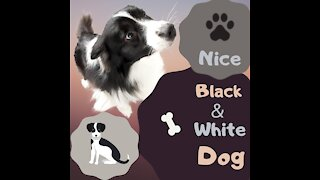 Nice black & white dog